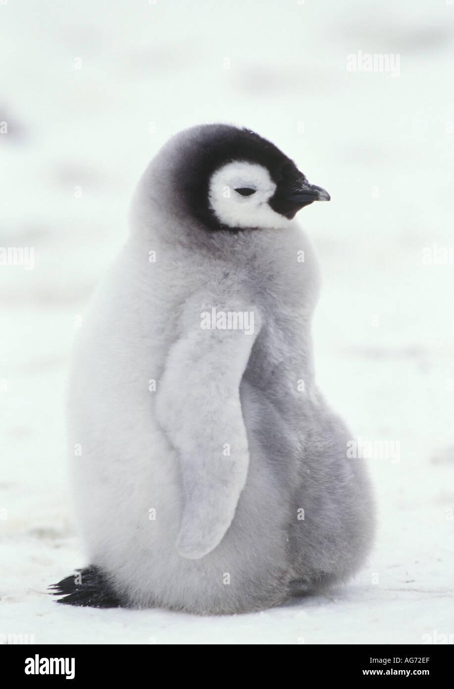 fluffy cute baby emperor