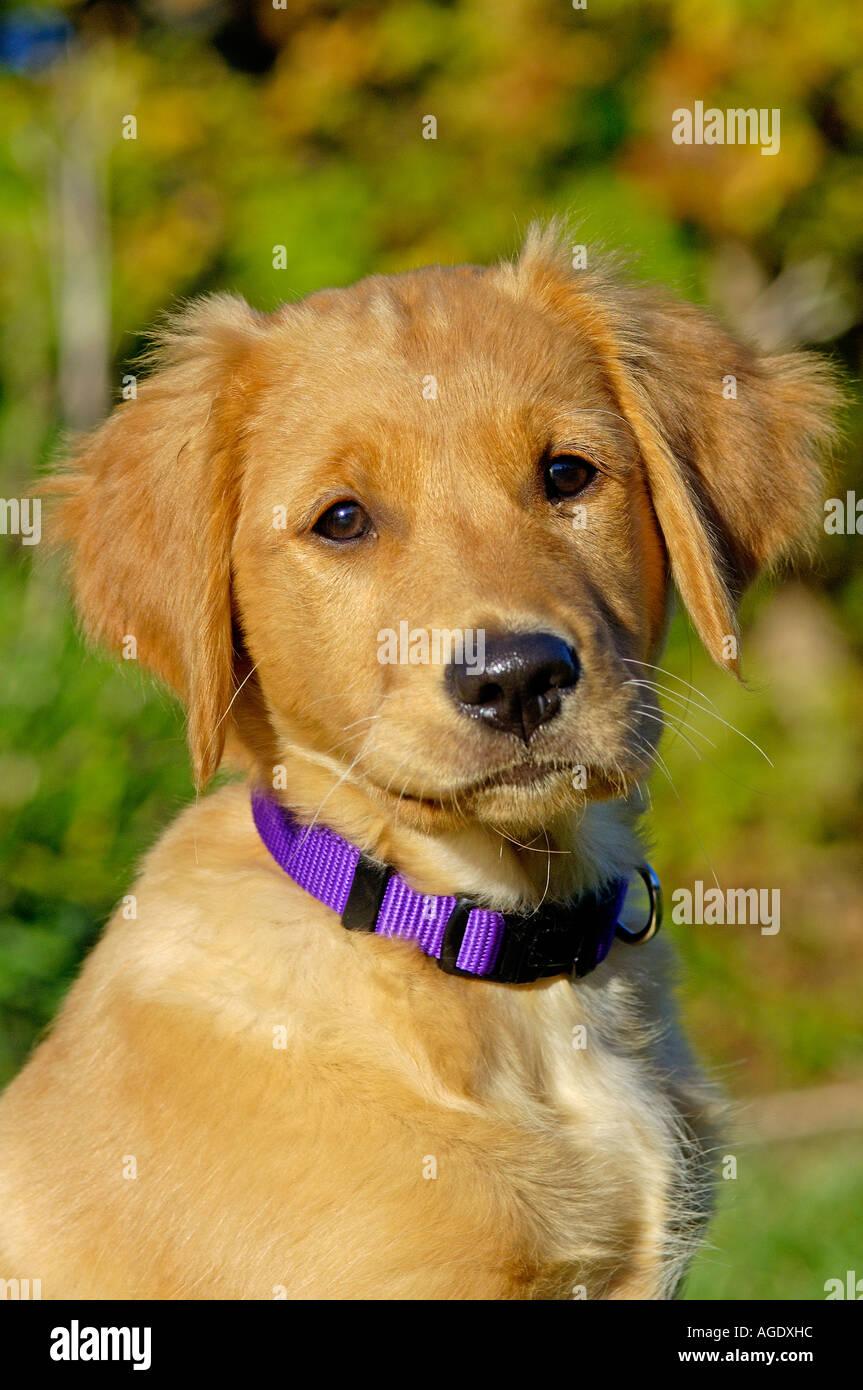 golden retriever purple collar