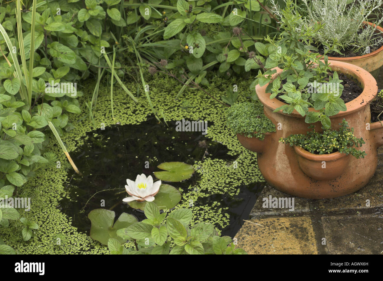 https www alamy com stock photo small patio pond with water lily and terracotta planters 14293288 html