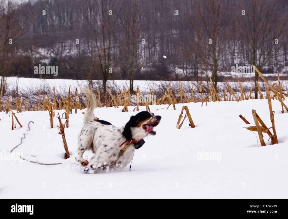 medium resolution of english setter on check cord hunting quail in snow covered field near hardinsburg indiana stock