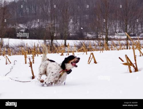 small resolution of english setter on check cord hunting quail in snow covered field near hardinsburg indiana stock