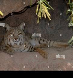 bobcat lynx rufus photographed in arizona usa [ 1300 x 953 Pixel ]