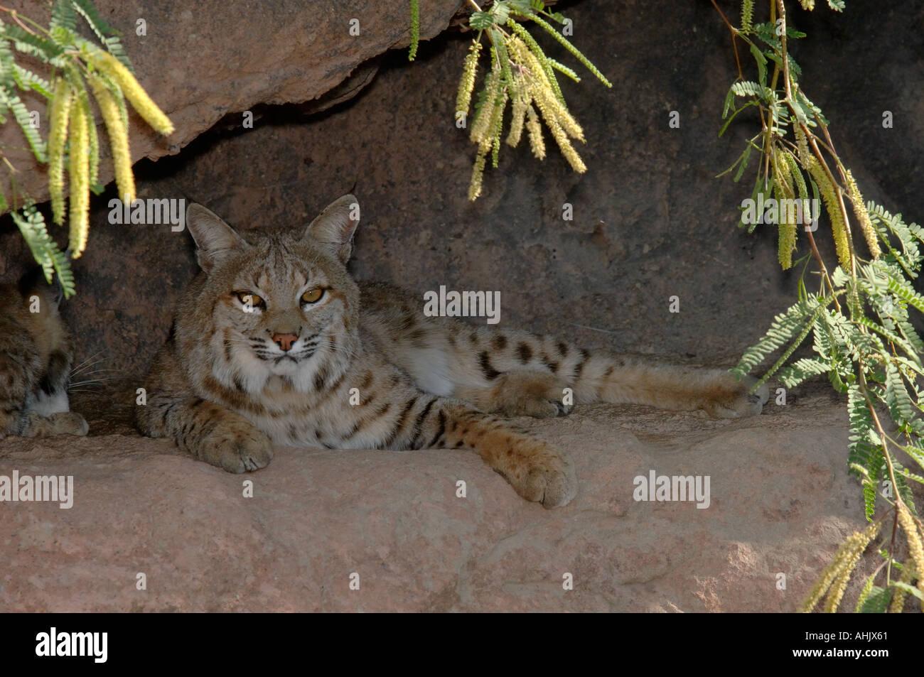 hight resolution of bobcat lynx rufus photographed in arizona usa