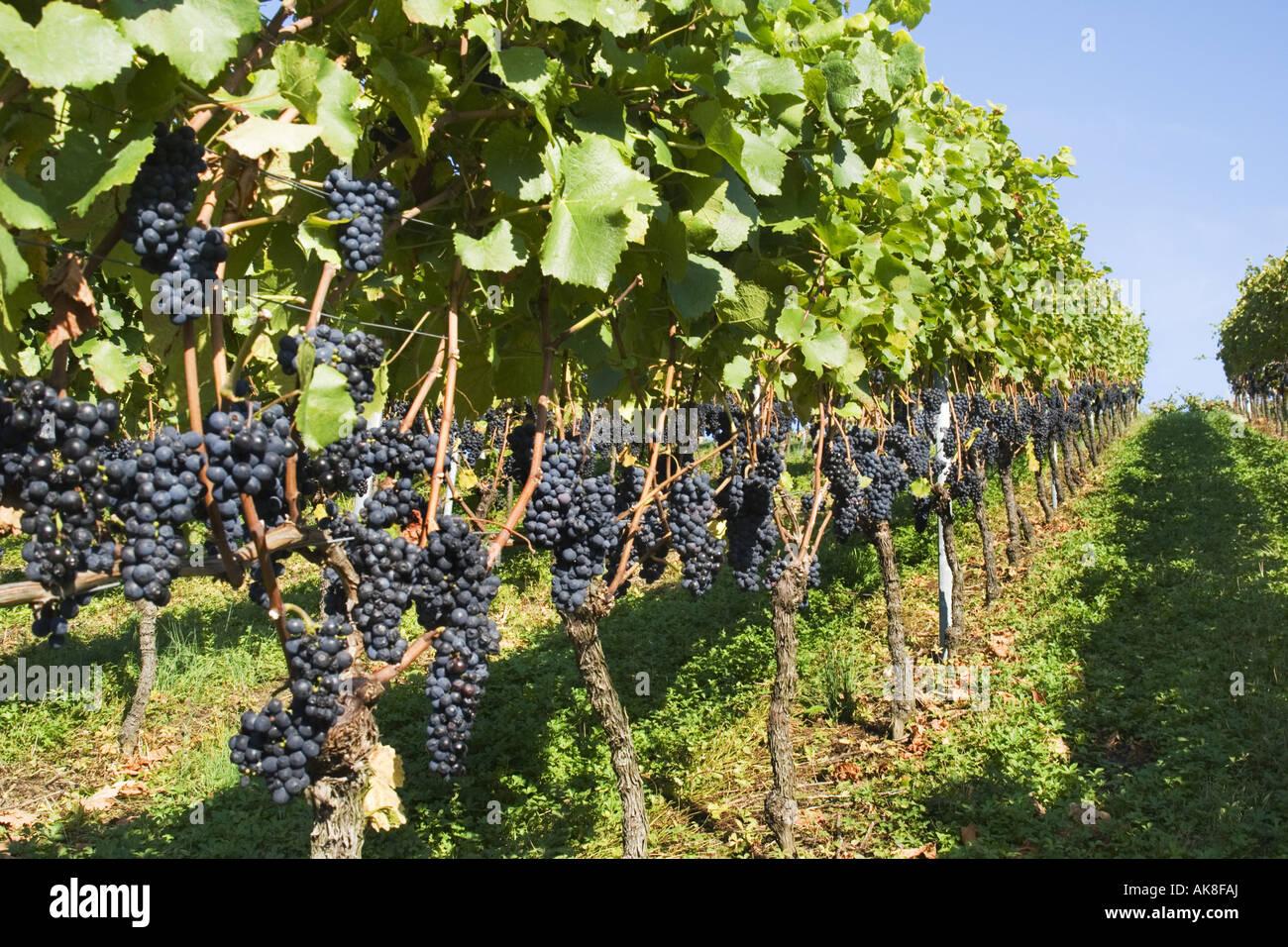 Gvine Vine Vitis Vinifera Cordon Of Vine With
