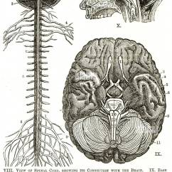 Cross Section Spinal Cord Diagram Labeled Pioneer Avh P4900dvd Wiring Stock Photos Images Nervous System Brain Cranial Nerve Cerebrum Chart Anatomical Sensory Perception