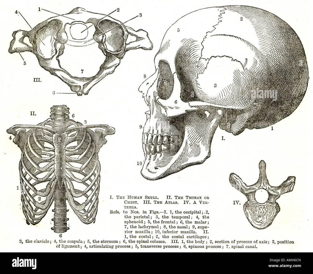 medium resolution of scull rib cage thorax chest atlas vertebra upper torso diagram chart medical anatomy anatomical hospital doctor teaching aid sho