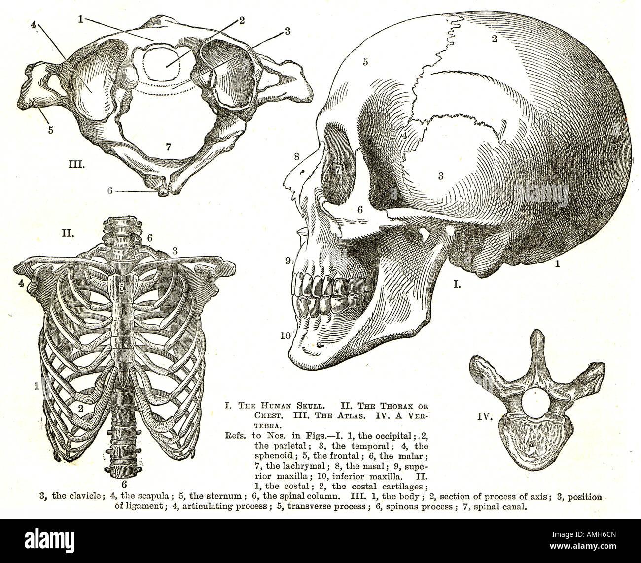 hight resolution of scull rib cage thorax chest atlas vertebra upper torso diagram chart medical anatomy anatomical hospital doctor teaching aid sho