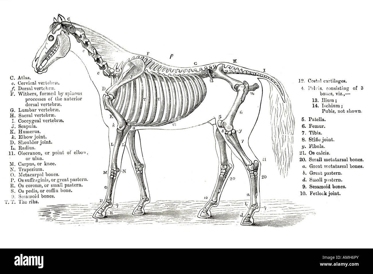 Horse Skeleton Skeletal Cross Section Bone Veterinary
