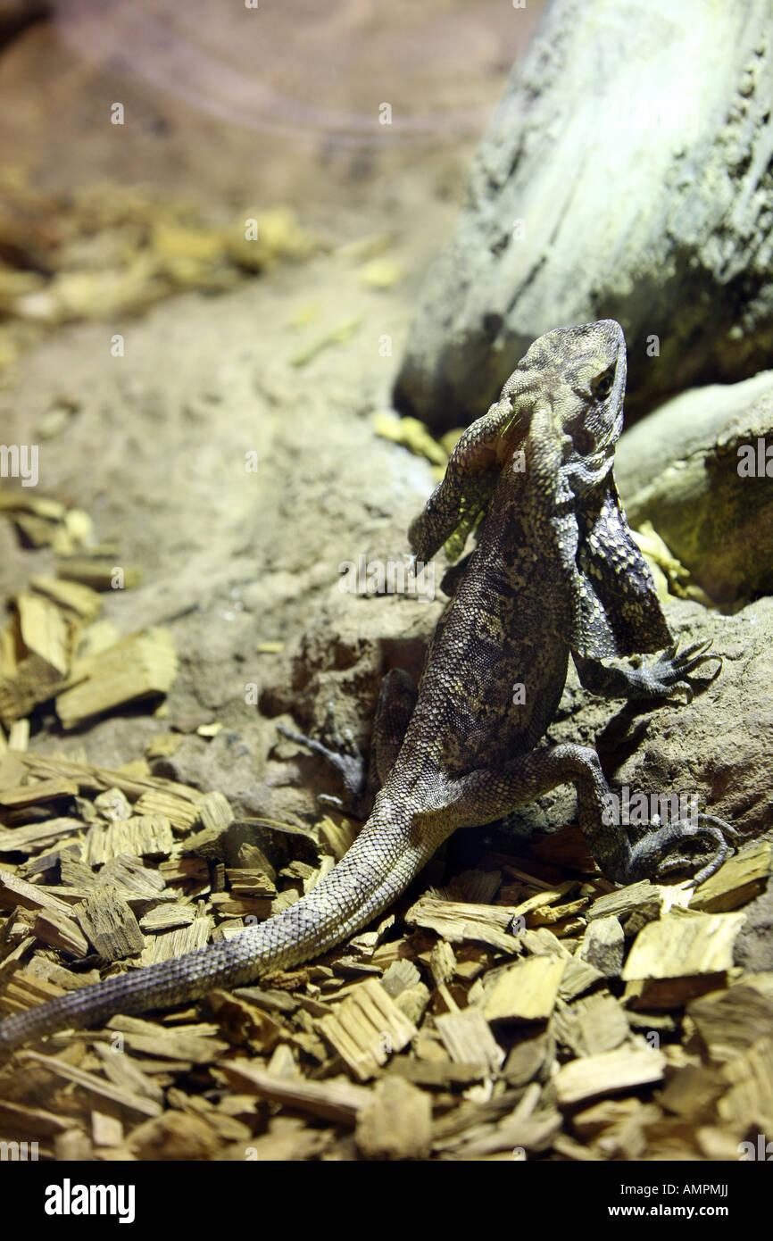 small lizard standing up