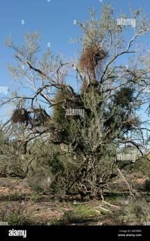 Acacia Obtusifolia Arizona - Year of Clean Water