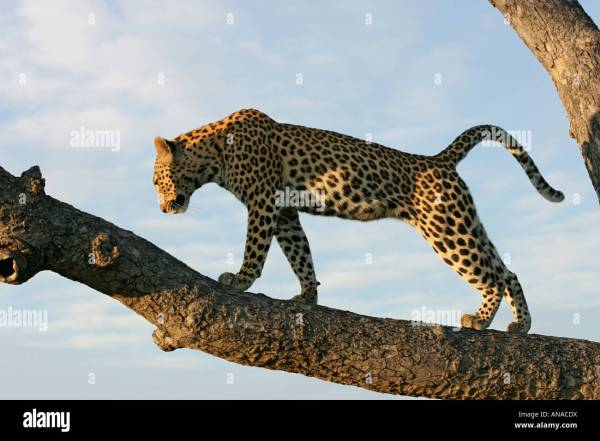 Side View Of Leopard Branch Stretching