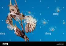 Bursting Milkweed Seed Pod Airborne Dispersal