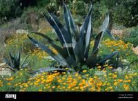 Desert Garden, East Ruston, Norfolk Eschscholzia, Cactus ...