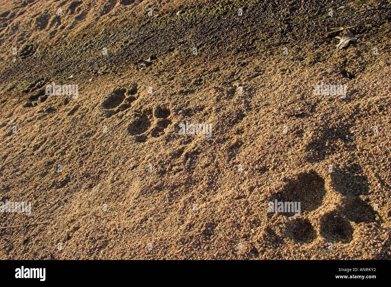 fresh lion paw prints
