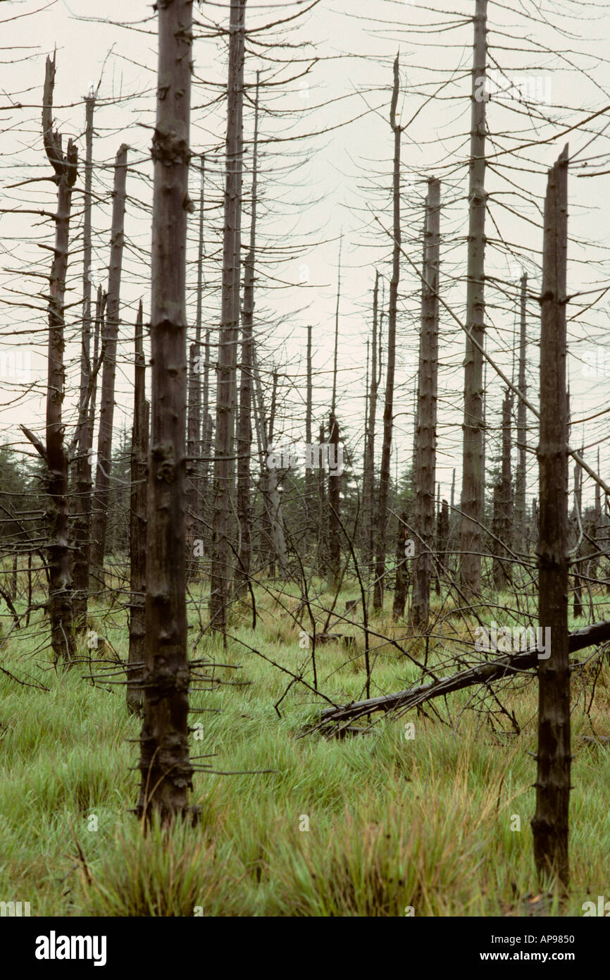 hight resolution of pine trees damaged from acid rain in europe stock image