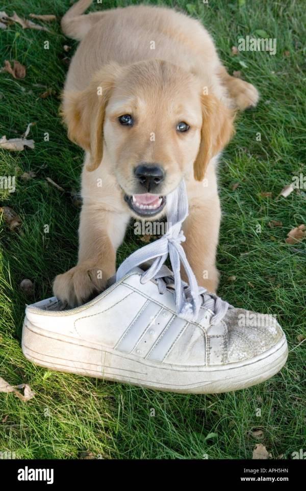 Golden Retriever Puppy Akc Chewing Tennis Shoe Stock 15791648 - Alamy