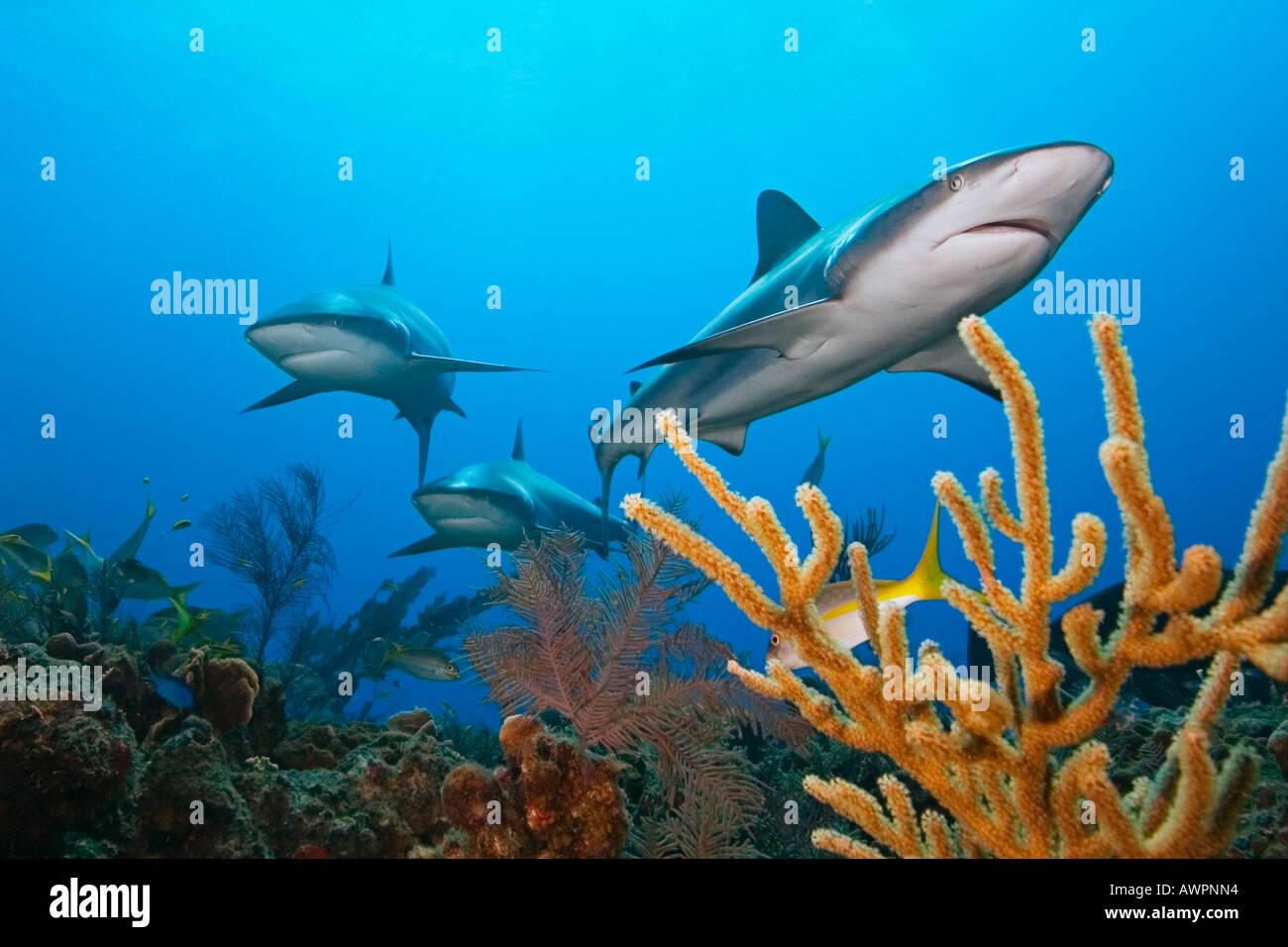 caribbean reef sharks carcharhinus