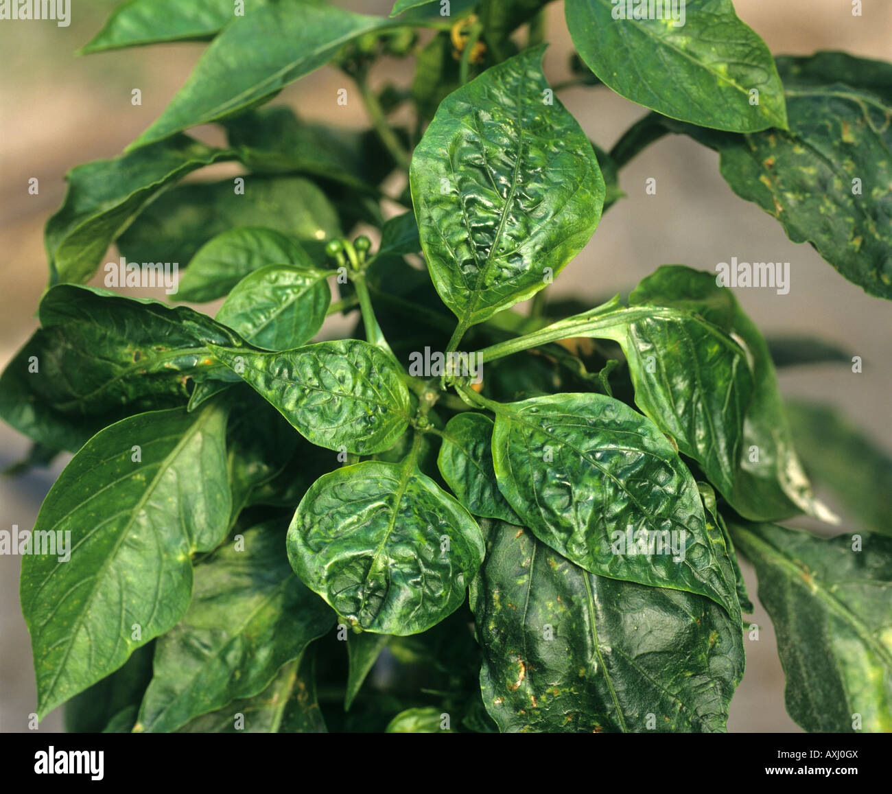 Cucumber Mosaic Virus Cmv Distortion Of The Leaves Of A