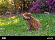 golden doodle dog puppy dogs lawn