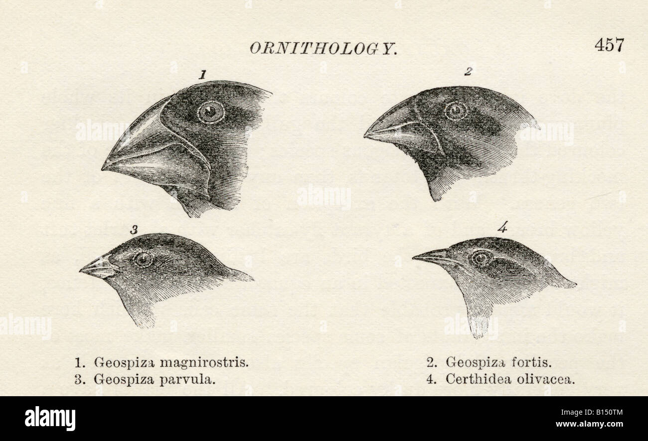 Finches With Beaks Adapted To Differentts Observed By