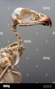 Eagle Skeleton Stock Royalty Free 17988815