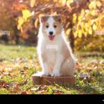 Border Collie Puppy In A Garden Stock Photo Alamy
