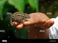 Hand holding a Jewelled Chameleon or Carpet Chameleon ...