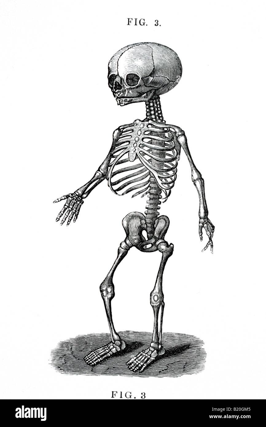 hight resolution of illustration human fetal skeleton