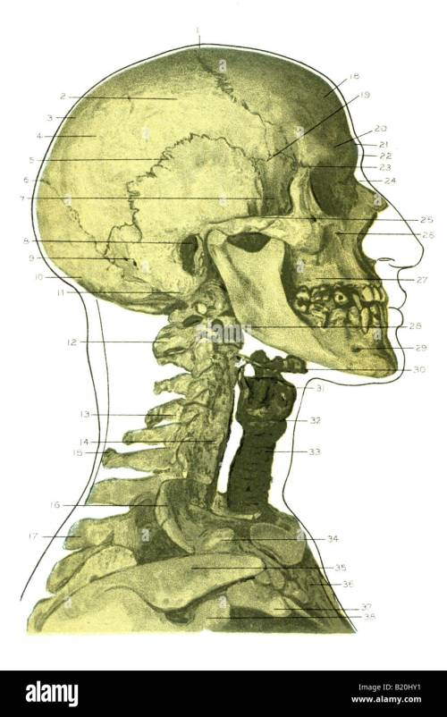 small resolution of illustration skeleton head face and neck