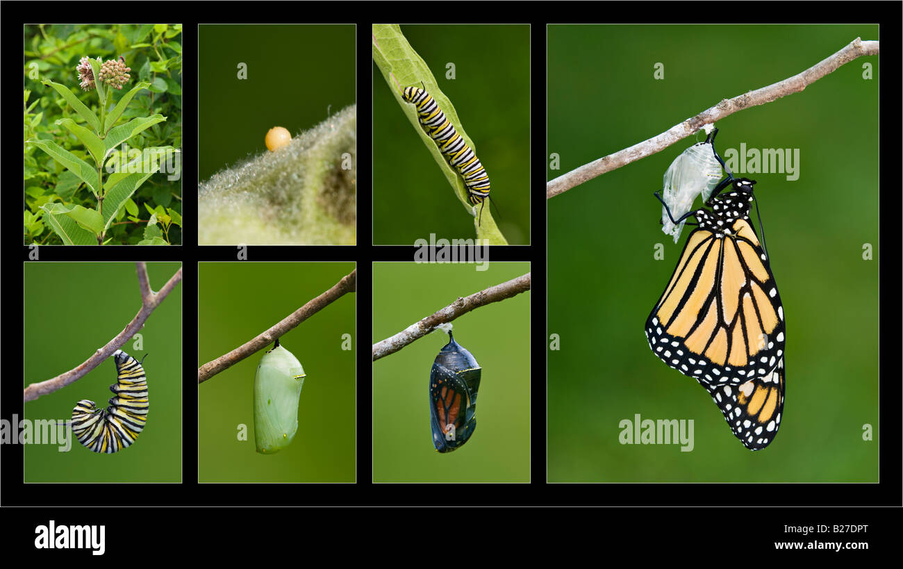 Monarch Butterfly Life Cycle Stock Photo