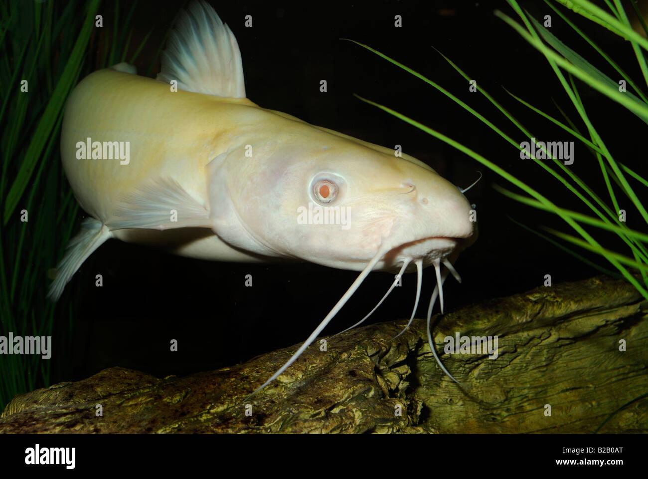 channel catfish ictalurus punctatus