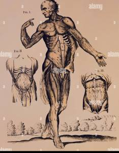 Medicine anatomy male body copper engraving anatomical atlas by berrettini bologna also stock photos  images alamy rh