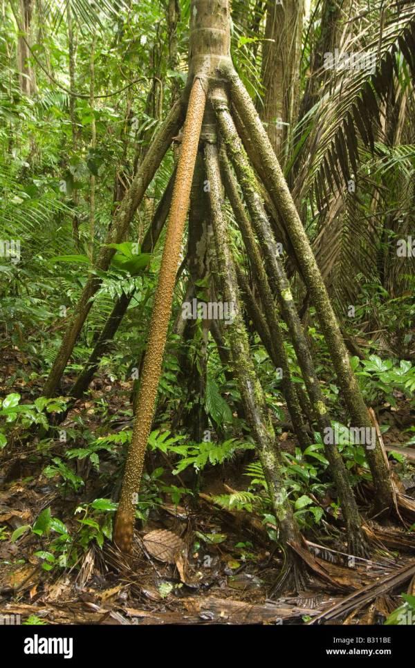 Walking Palm Socratea Exorrhiza Stilt Roots Enable