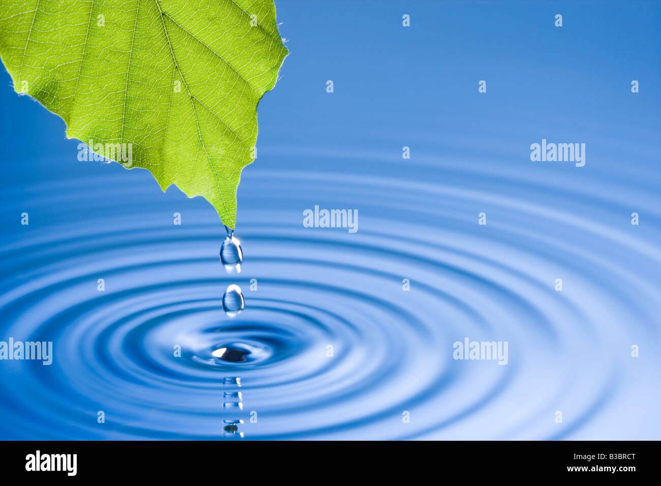 Falling Water Hd Wallpaper Water Droplets Falling From Leaf Causing Ripples Beech