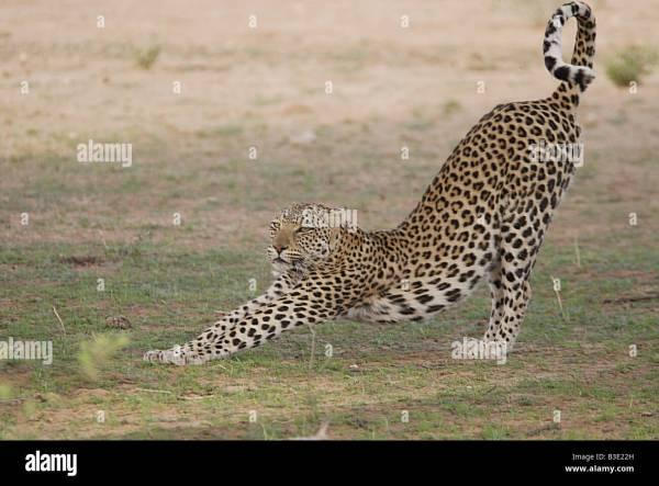 Leopard - Stretching Panthera Pardus Stock