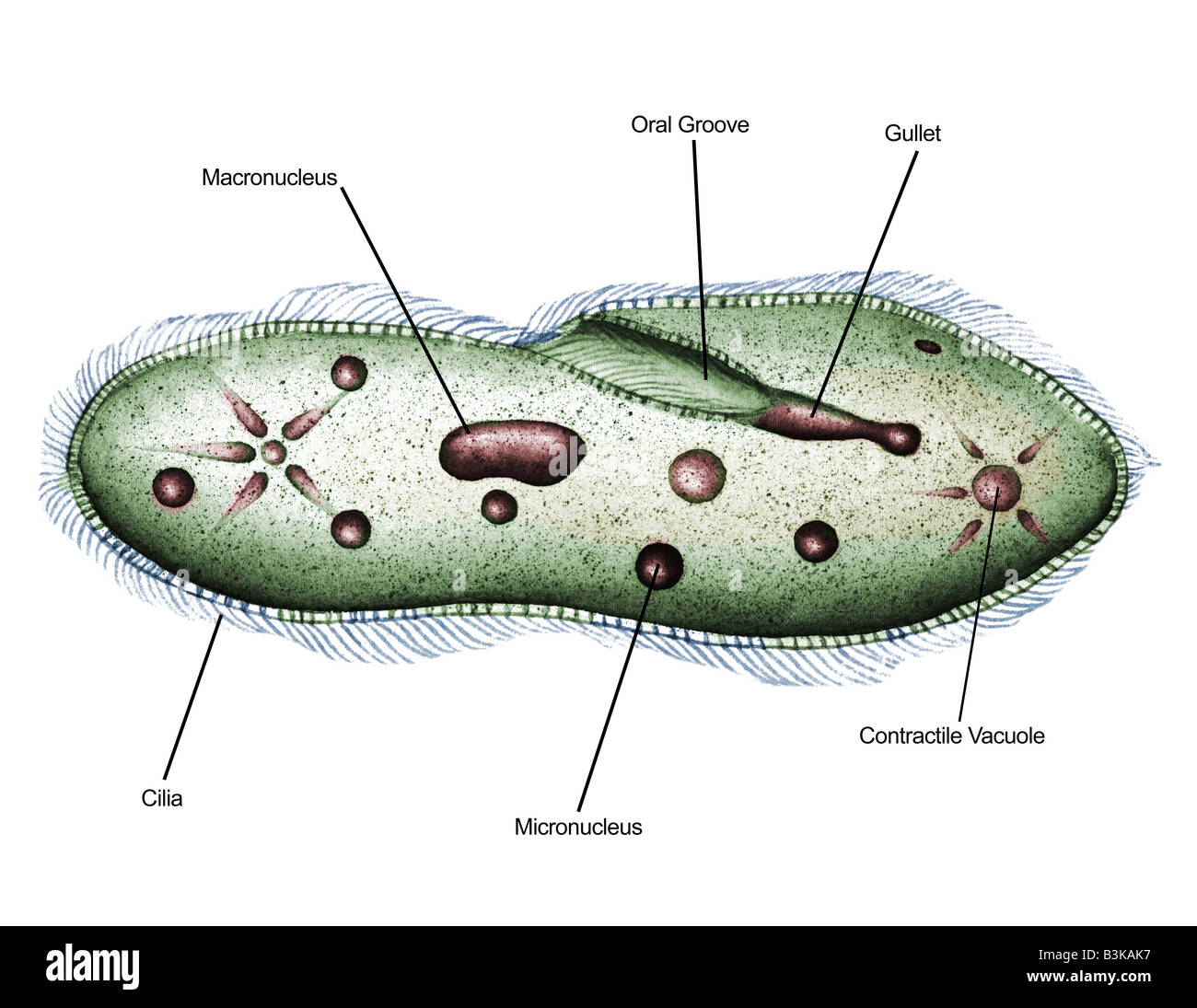 hight resolution of illustrated diagram of paramecium paramecium sp 1000x