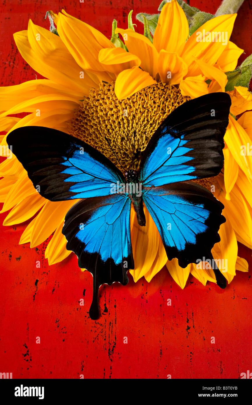 Fall Romance Wallpaper Blue Butterfly On Sunflower On Red Background Stock Photo