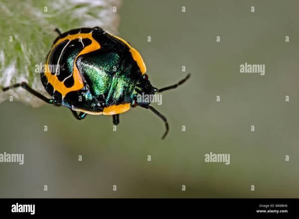 Australia Jewel Beetles - Year of Clean Water