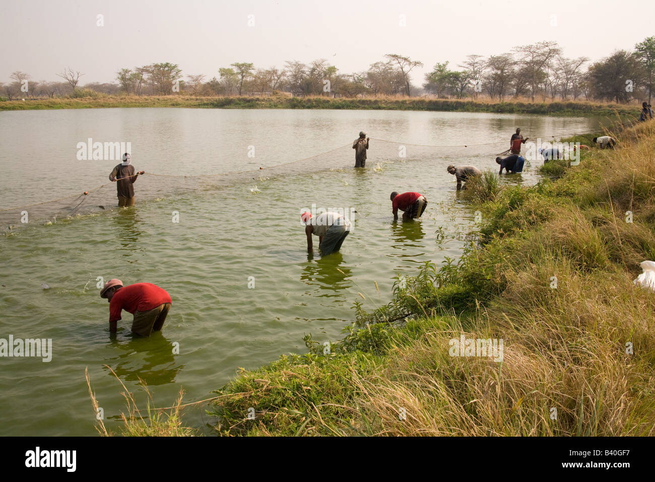 harvesting tilapia fish from