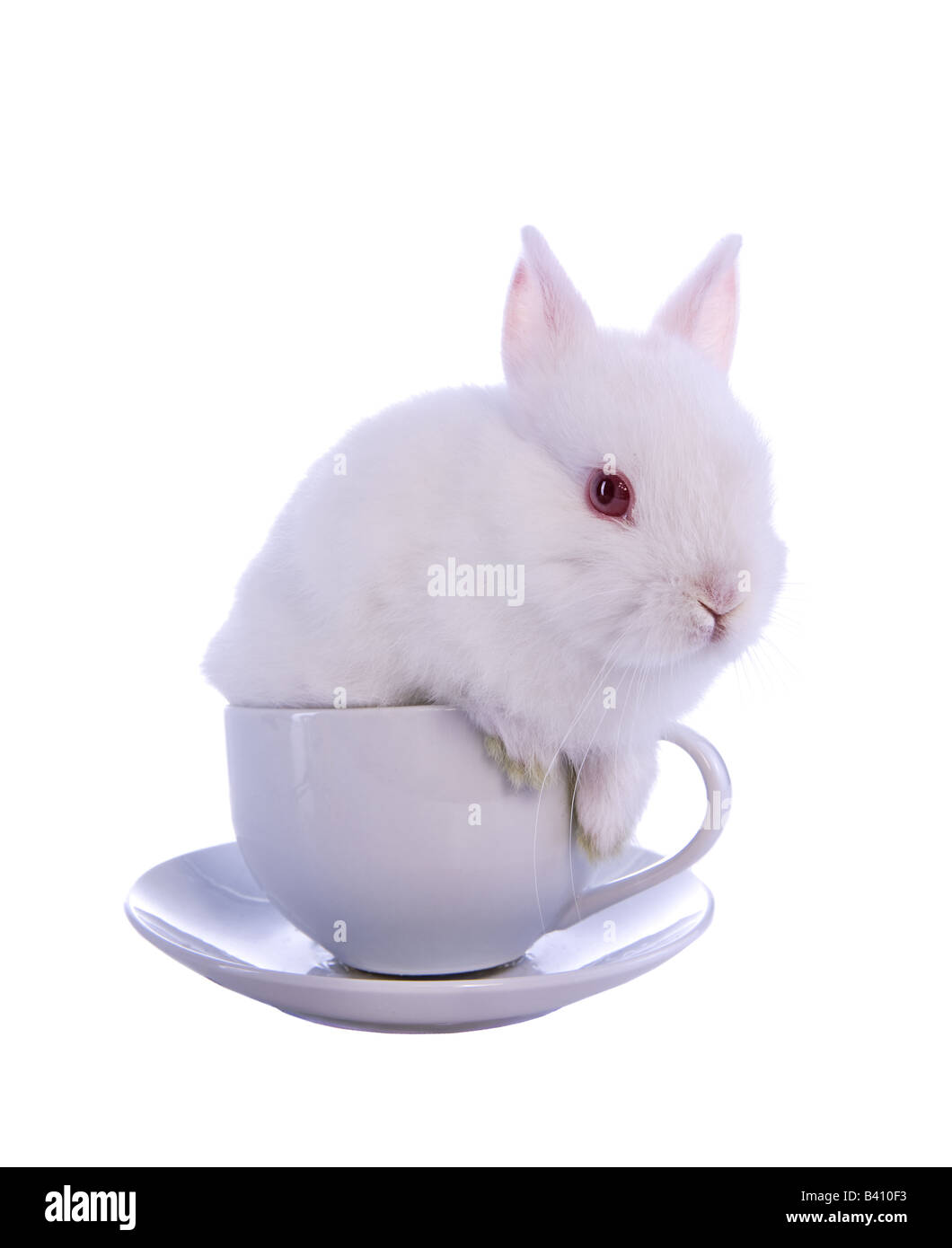 Baby Teacup Bunnies : teacup, bunnies, Netherland, Dwarf, Rabbit, Resolution, Stock, Photography, Images, Alamy