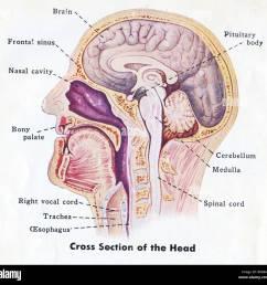 1940 medical diagram of human head [ 1300 x 1262 Pixel ]
