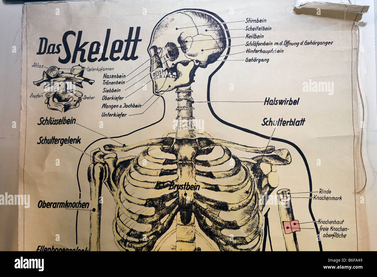 hight resolution of old diagram of a human skeleton for school lessons detail historic classroom in the