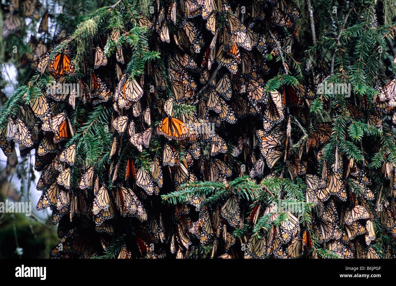 Mexico Sierra Chincua Monarch Sanctuary Monarch