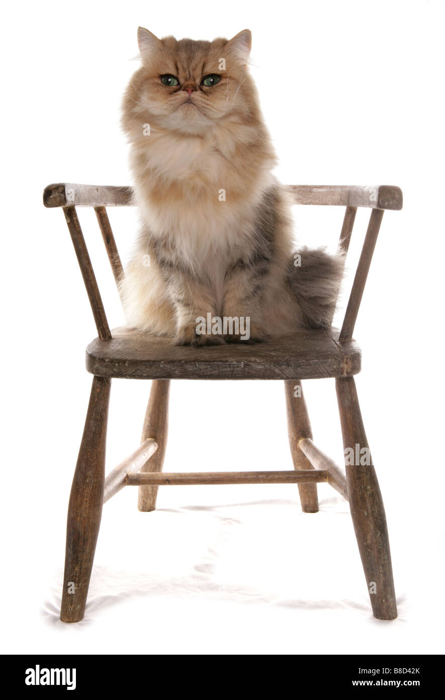 Persian Golden Cat Sitting on a chair Studio Stock Photo