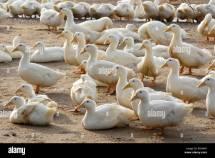 Long Island York Duck Farm Stock Royalty Free