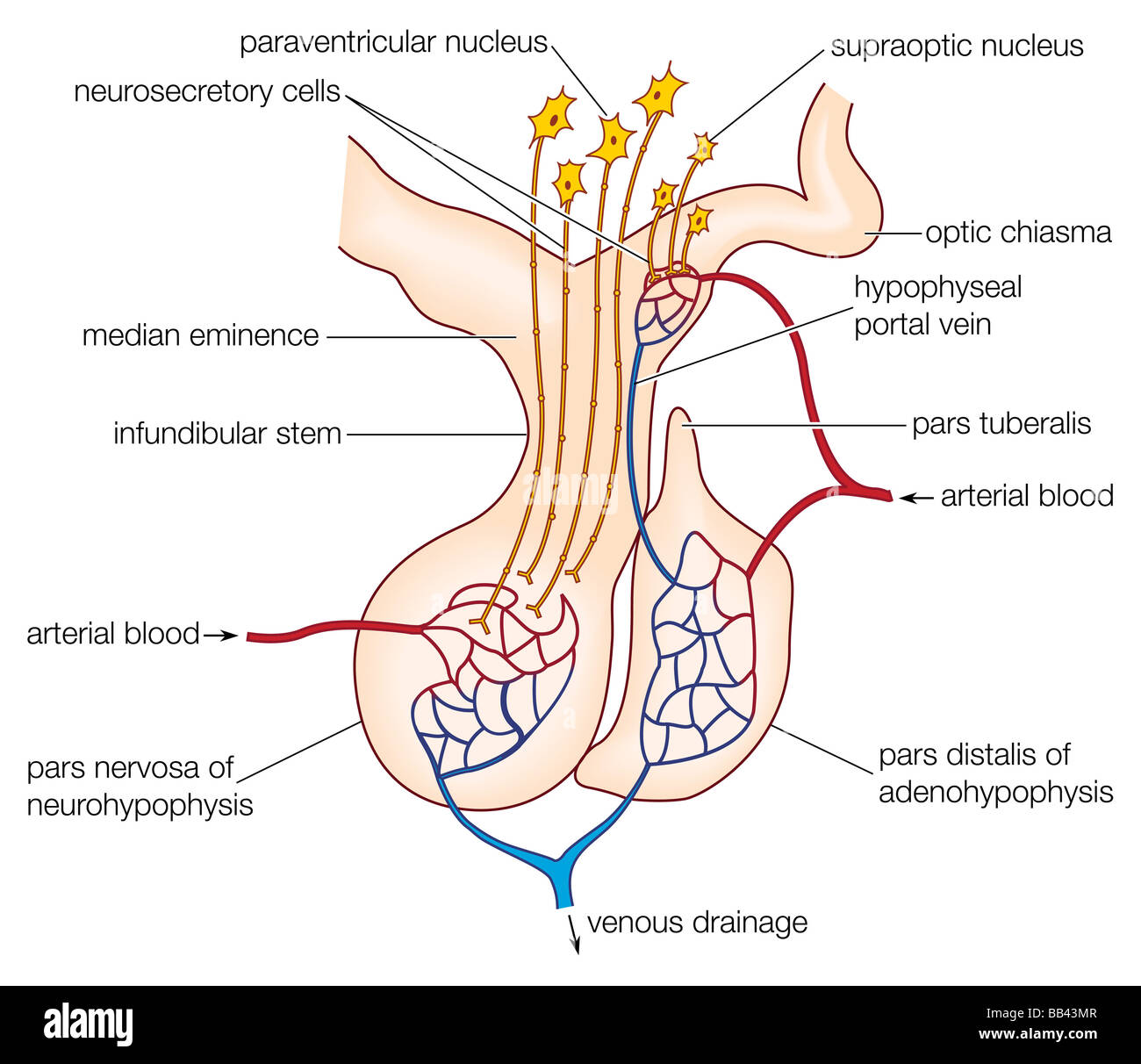 hight resolution of the mammalian pituitary gland showing the anterior lobe adenohypophysis and posterior lobe
