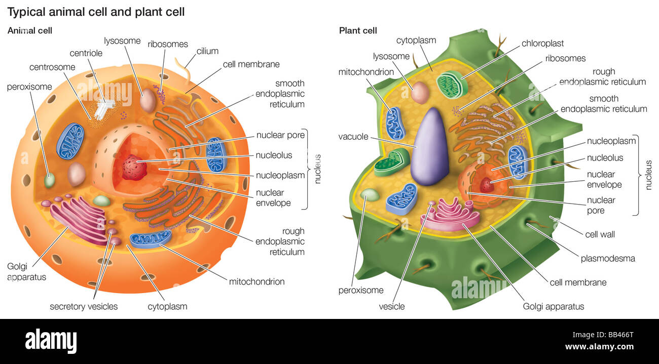 hight resolution of typical animal cell and plant cell stock image