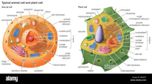 small resolution of typical animal cell and plant cell stock image
