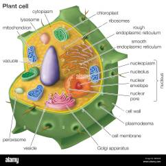 Eukaryotic Plant Cell Diagram 1997 Bmw Z3 Stereo Wiring Cutaway Drawing Of A Stock Photo