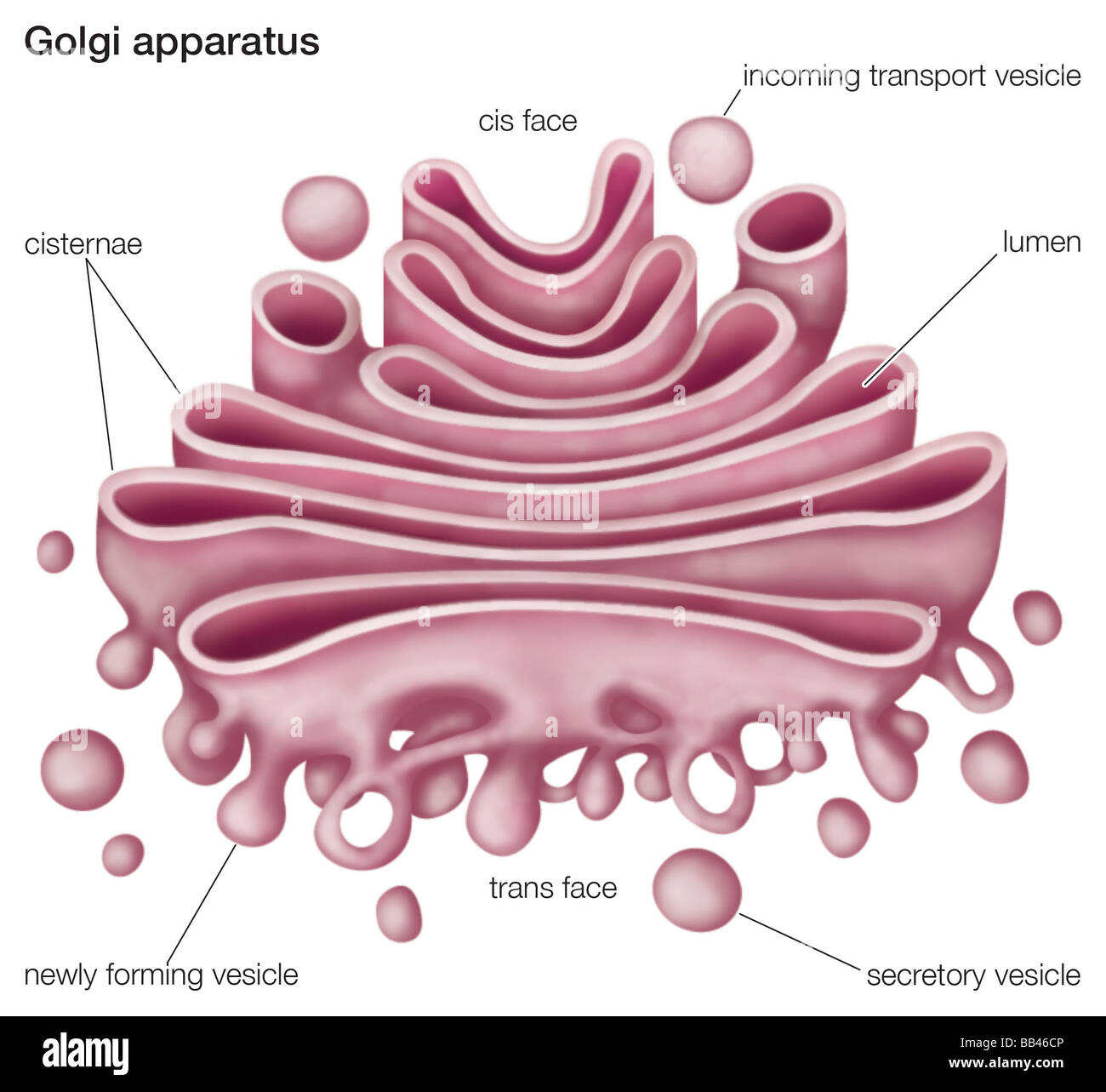 golgi apparatus structure diagram 2007 kawasaki mule 3010 wiring the or complex plays an important role
